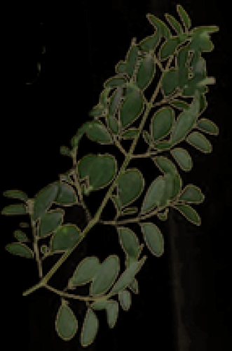 Moringa Stem & Shoots