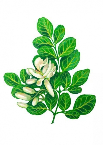 ∆ Moringa Can Certainly Reverse Heart Disease &  Atherosclerosis  (cardiovascular disease is preventable) ~E.G. PLOTTPALMTREES COM